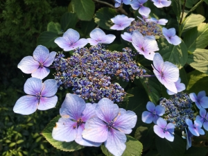 closeup lacey hydrangea