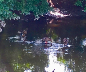 ducks on a shady river