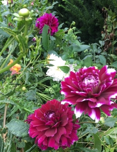 large dahlias