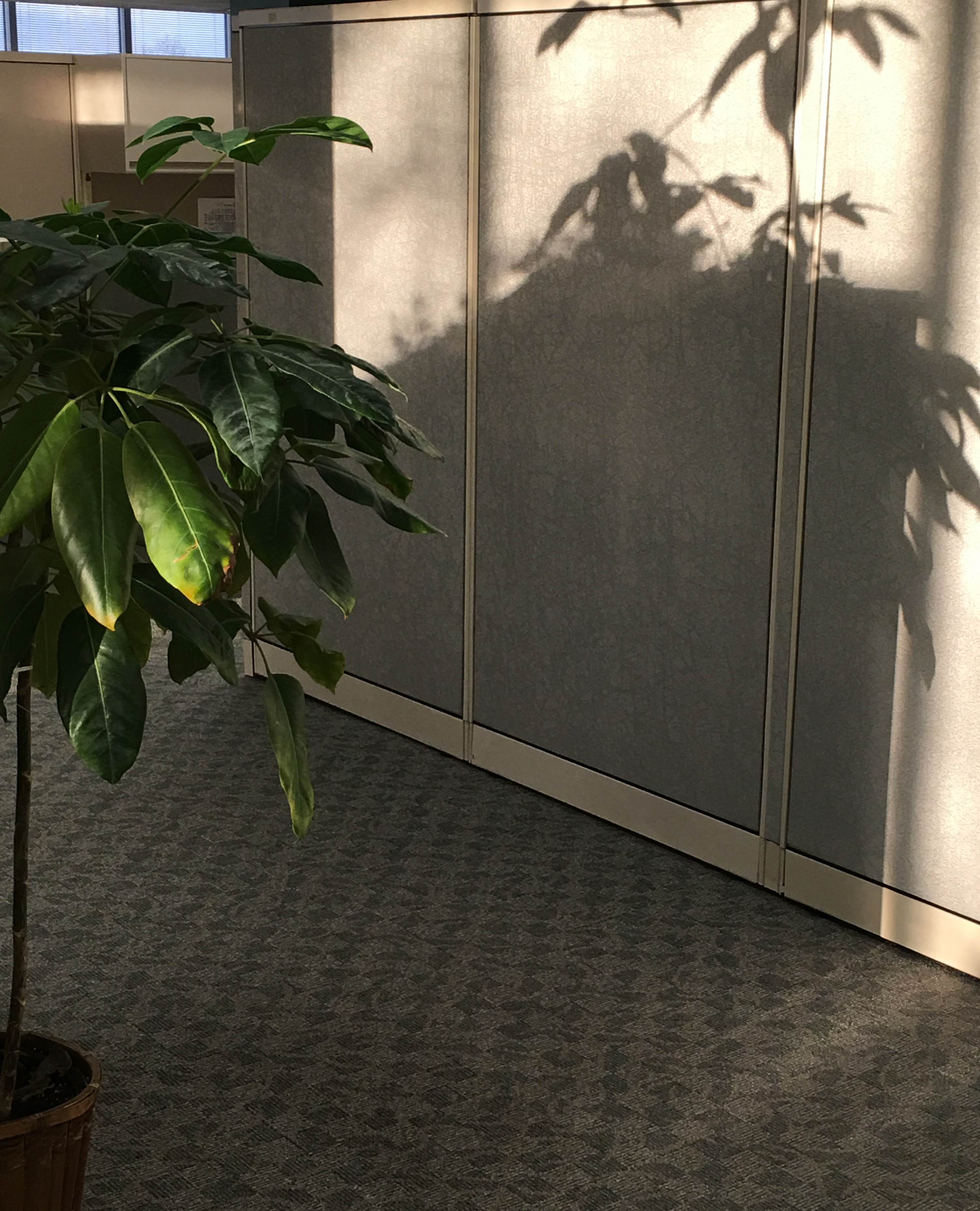 schflera shadow