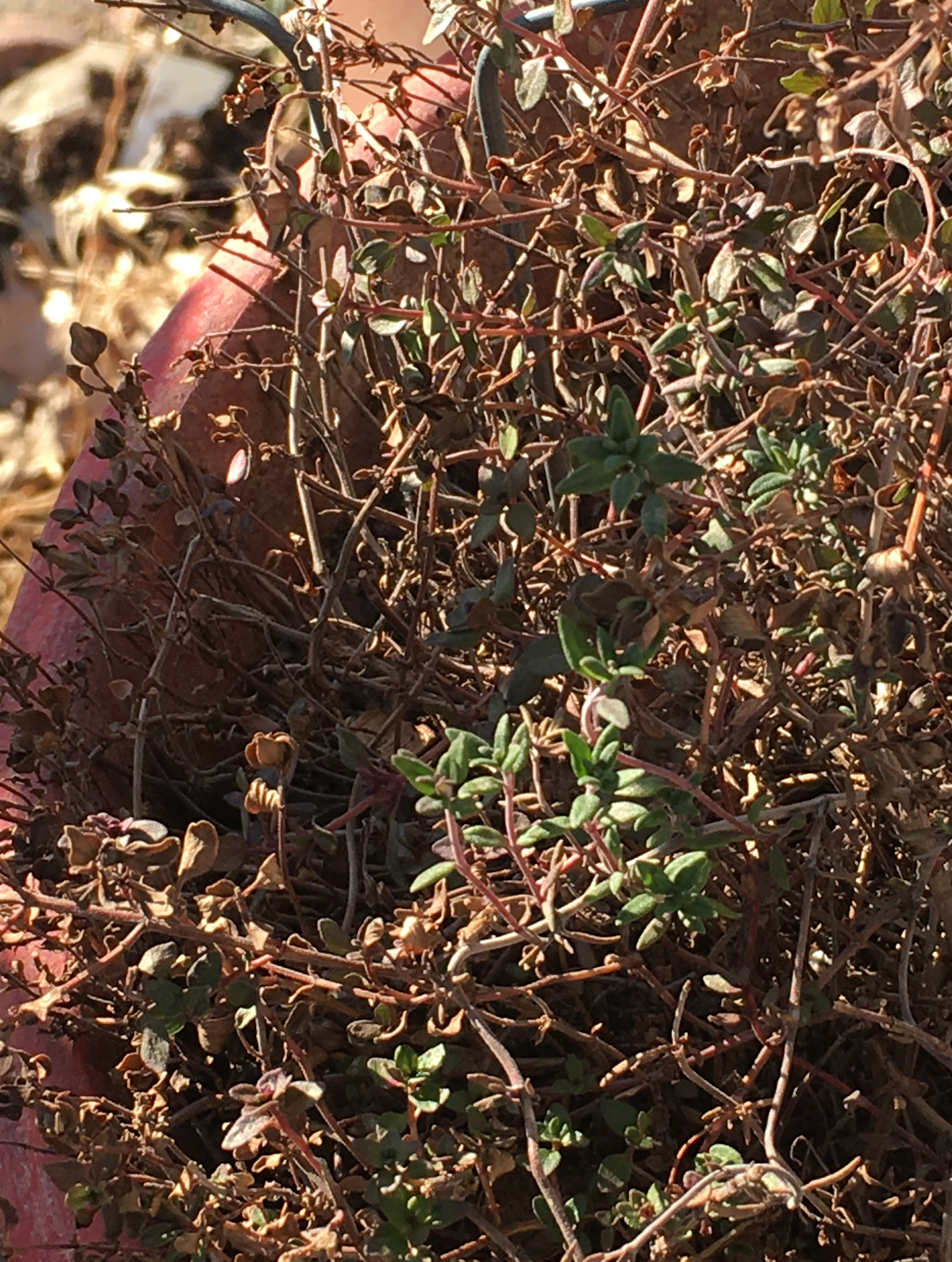 lemon thyme wintered over