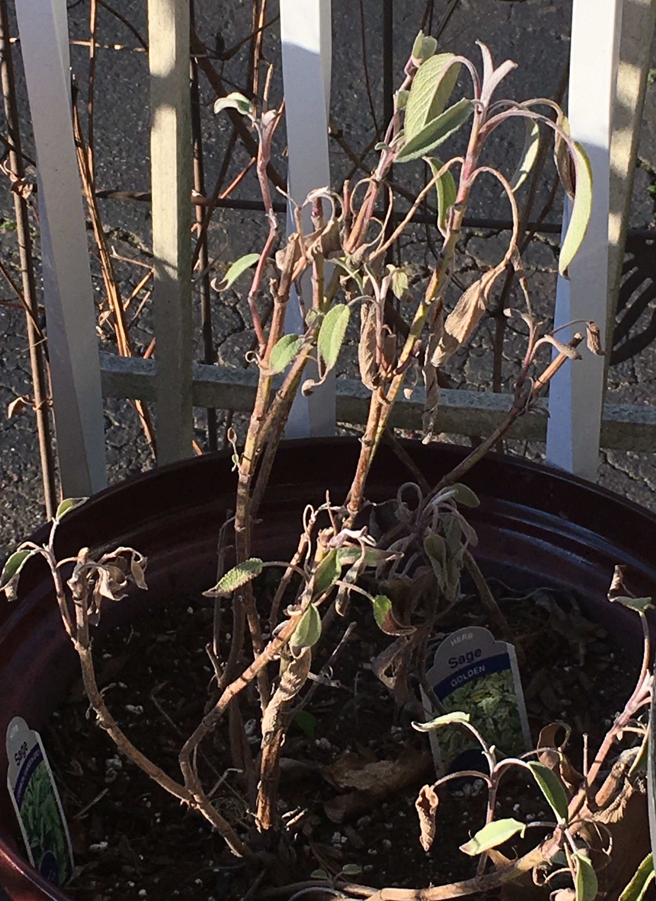 sage wintered over