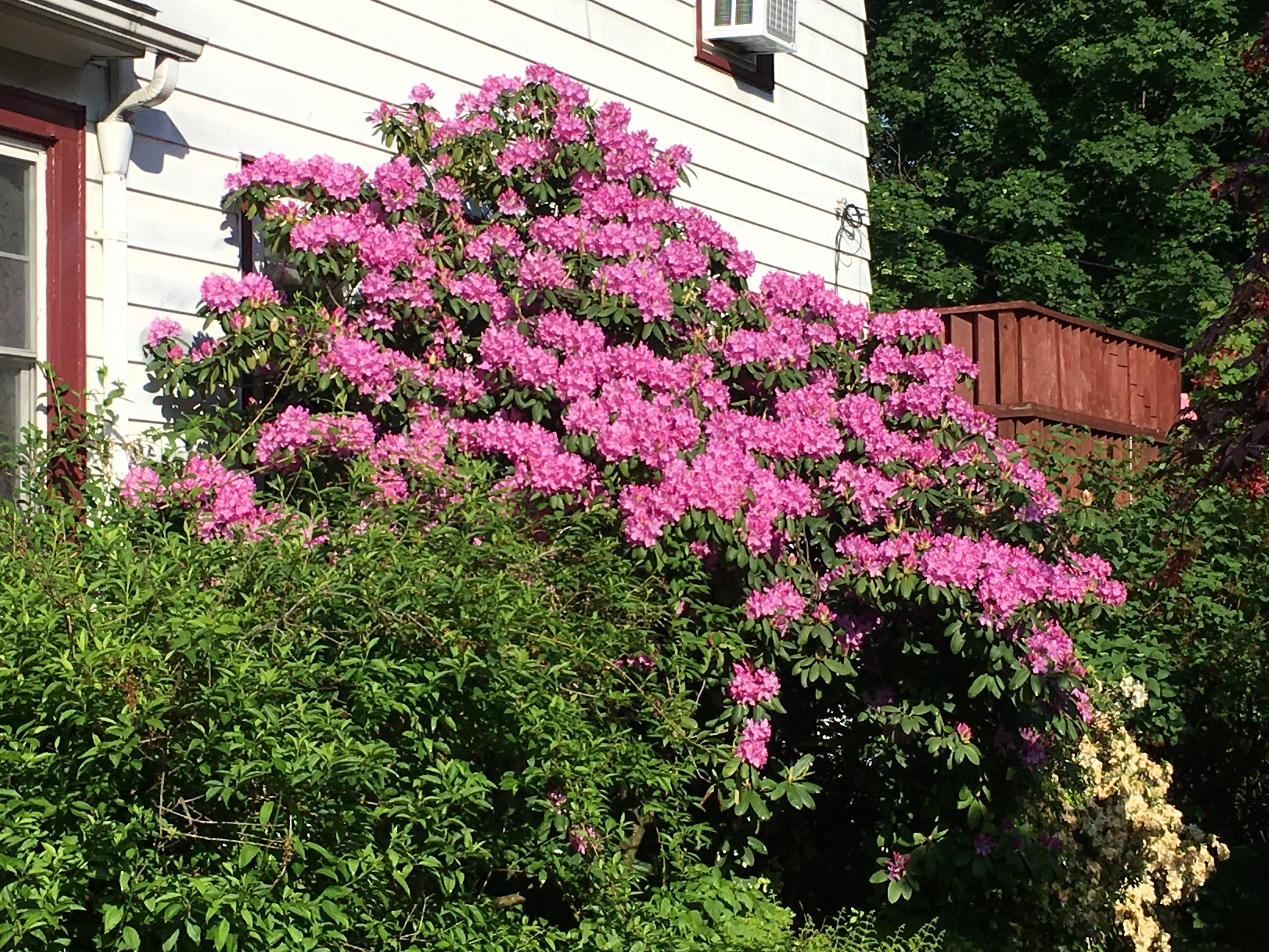 2019 rhododendron