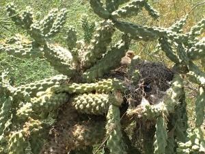bird nesting in cool cactus 1