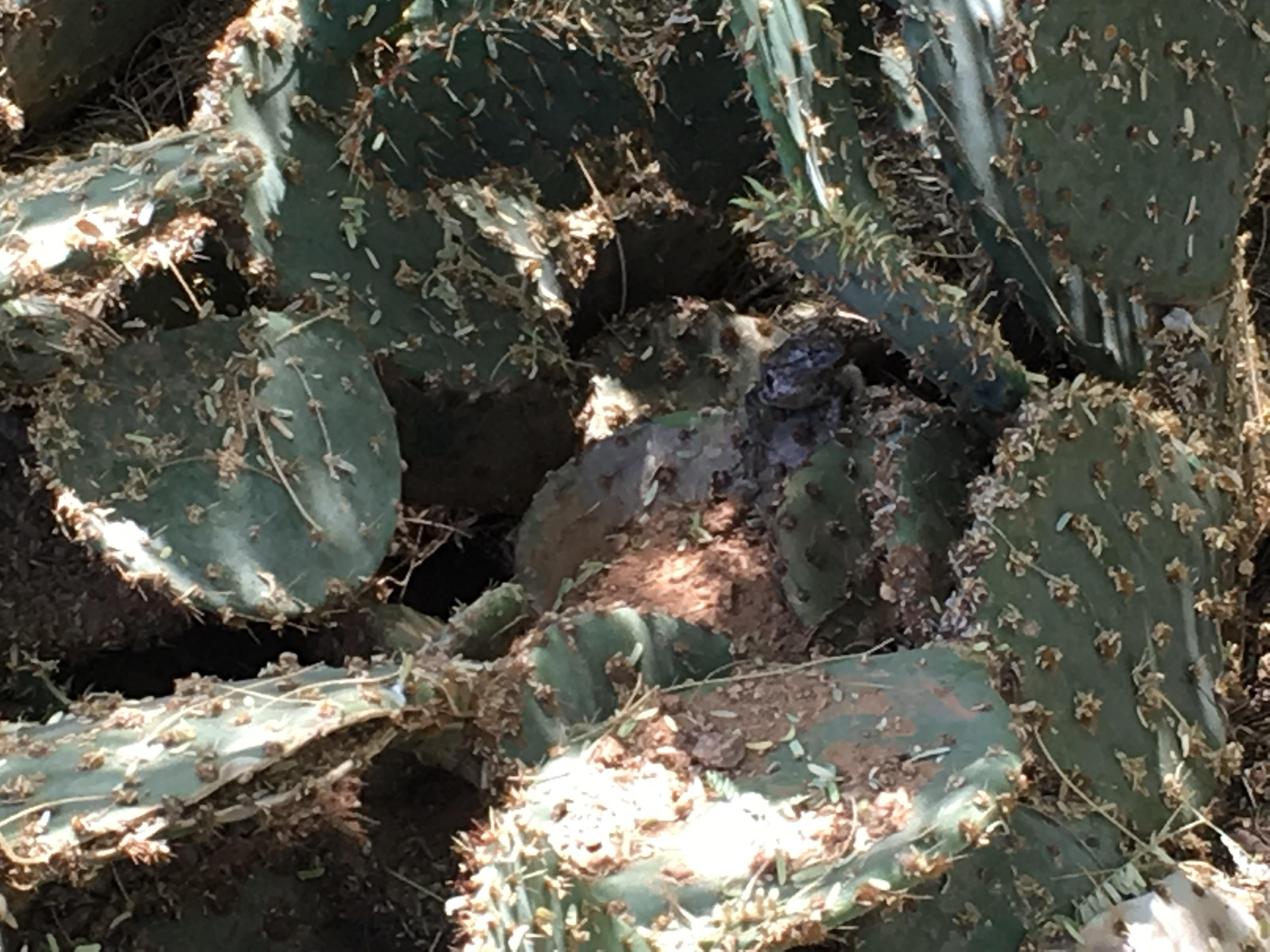 hidden toad