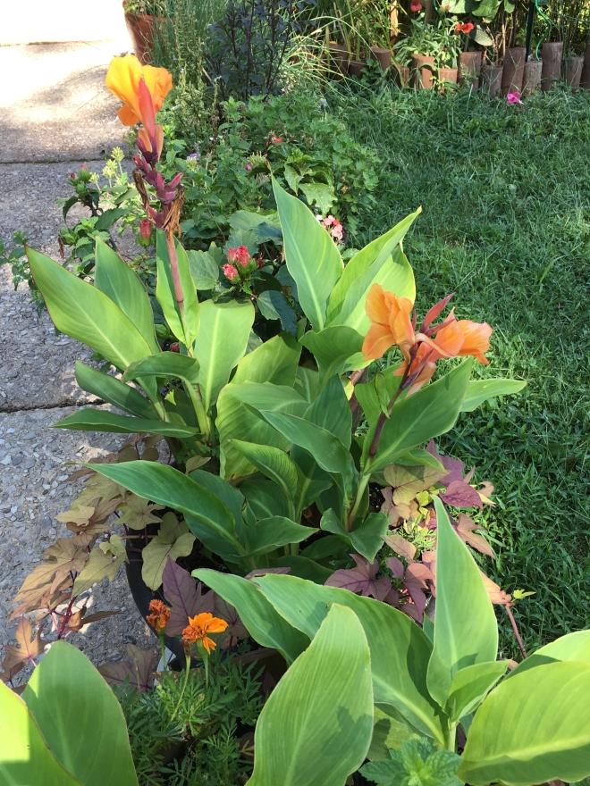 canna lilies