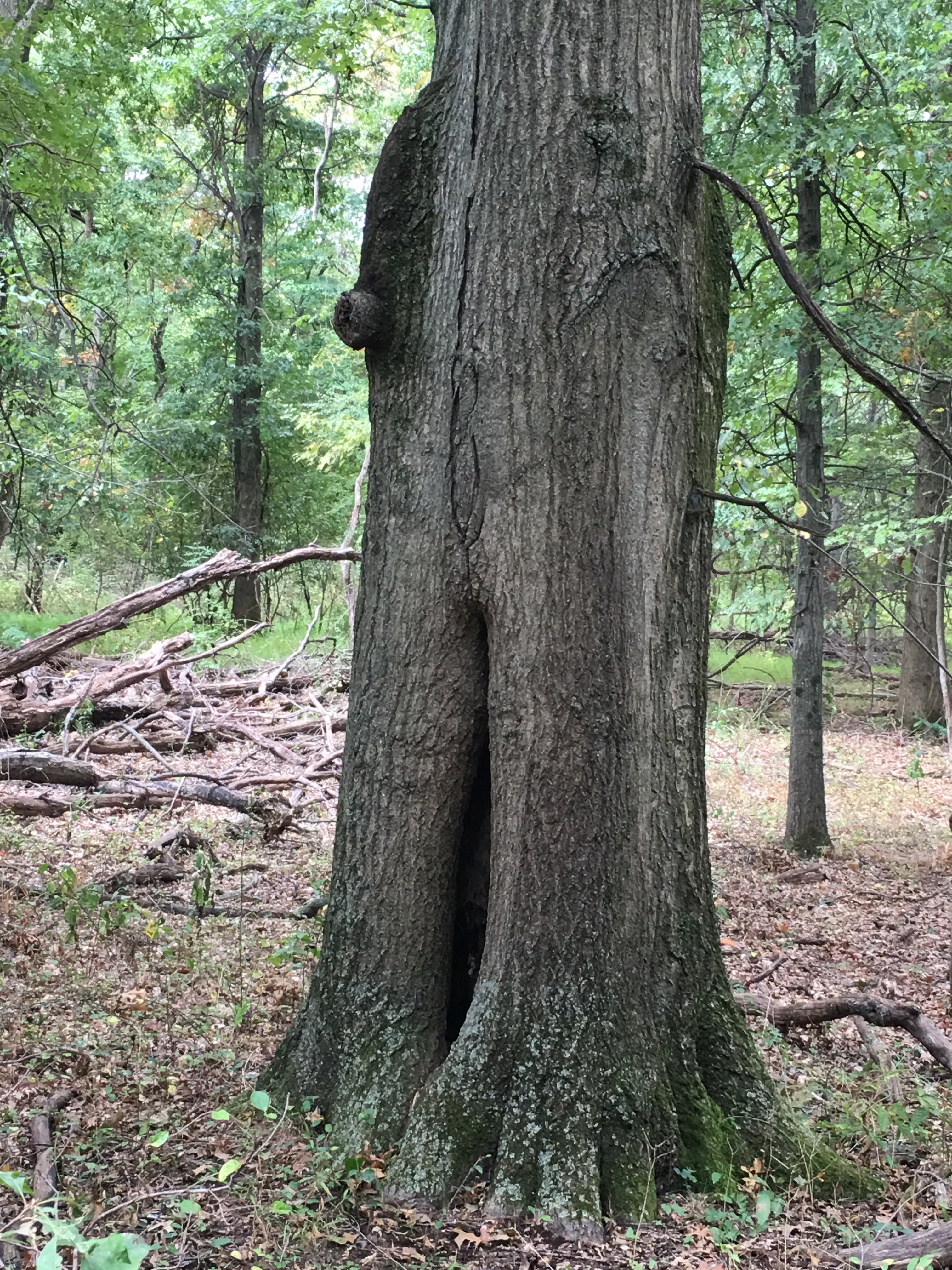 bark squirrel climbing down tree