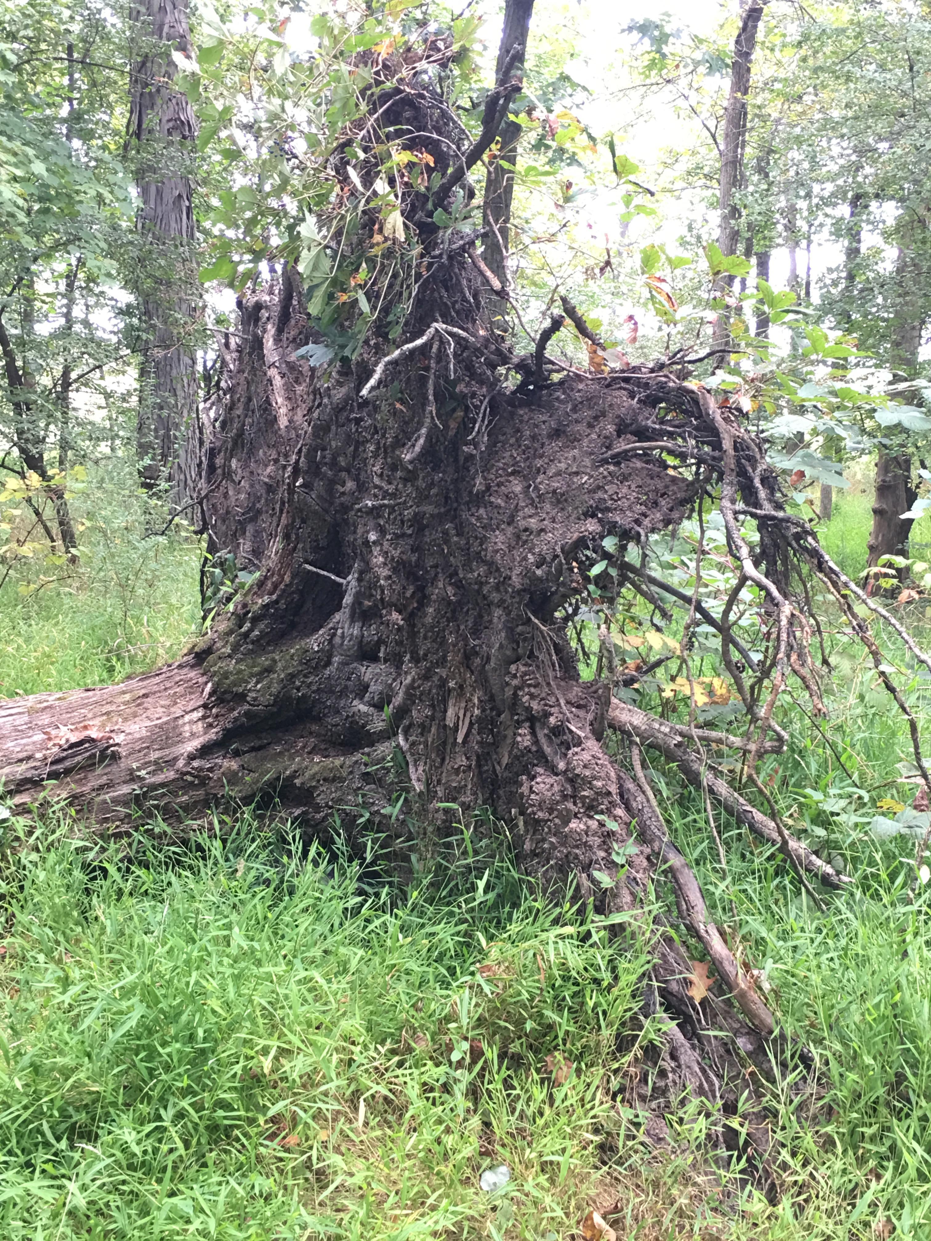 fallen tree roots making a wall