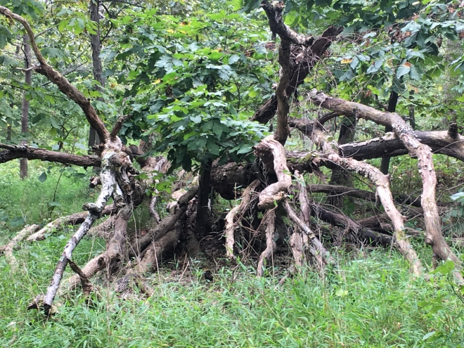 fallen tree with multiple branches