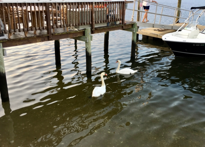 more swans and water
