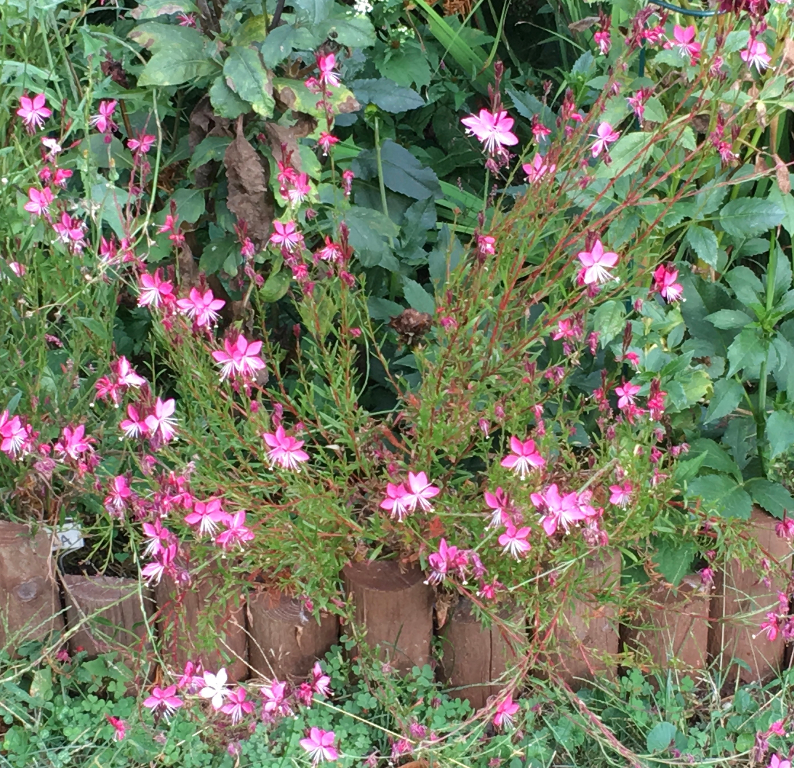 pink guara