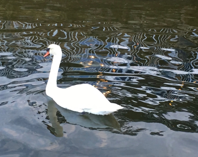 swan and reflected lights