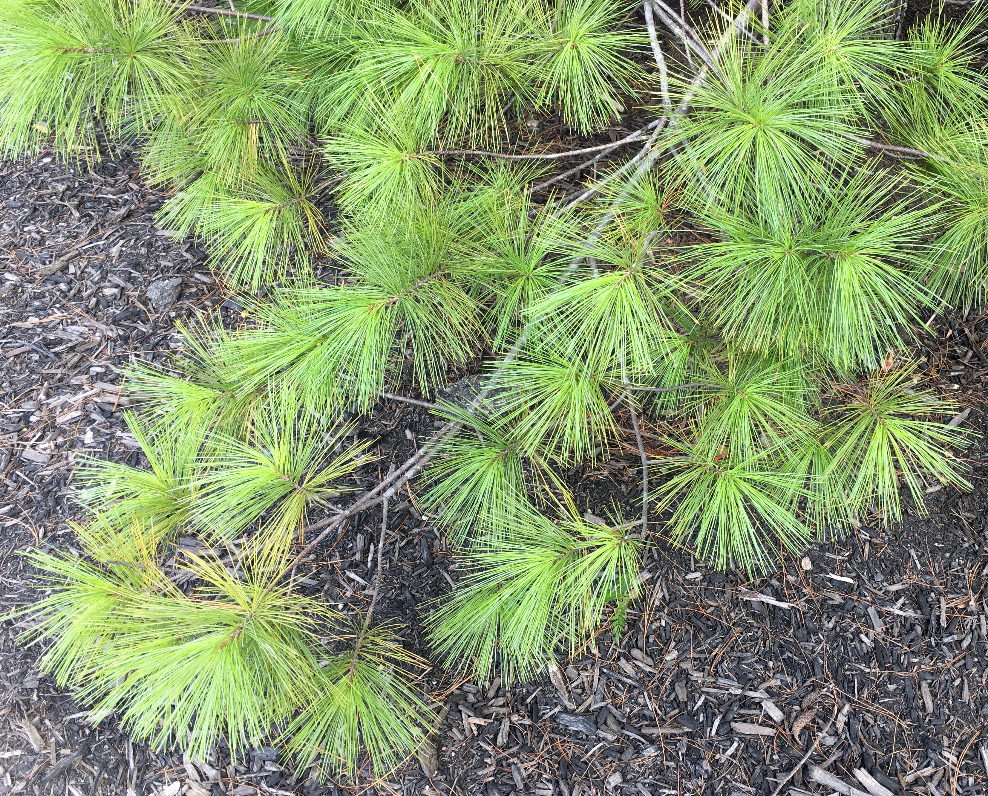 white pine needles