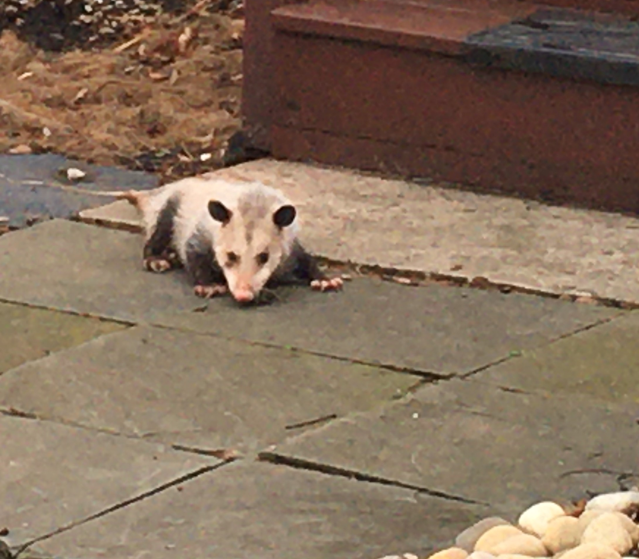 a visiting possum