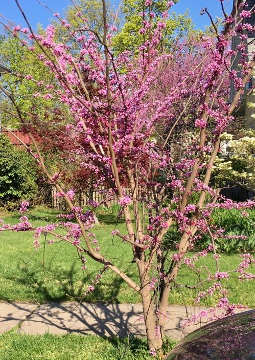 American Redbud tree