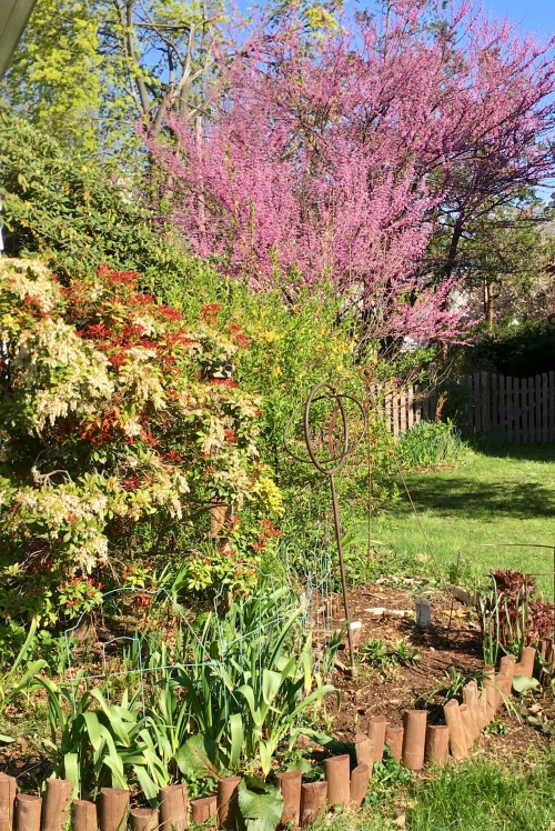 Andromeda bush and flowering cherry