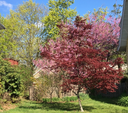 japanese maple and american redbud