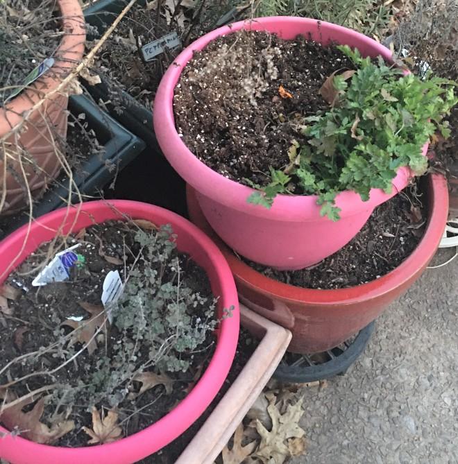 marjoram and cilantro