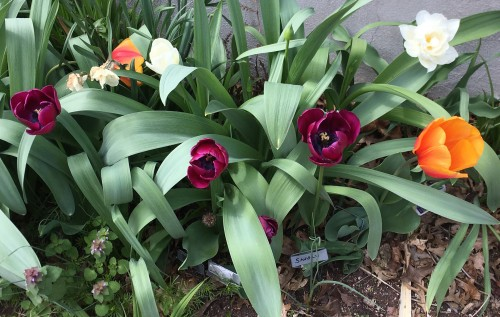 tulips and clover