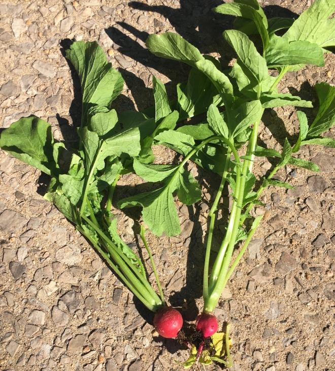 2 radishes