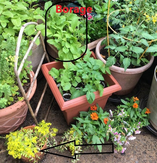 borage radishes ground cover
