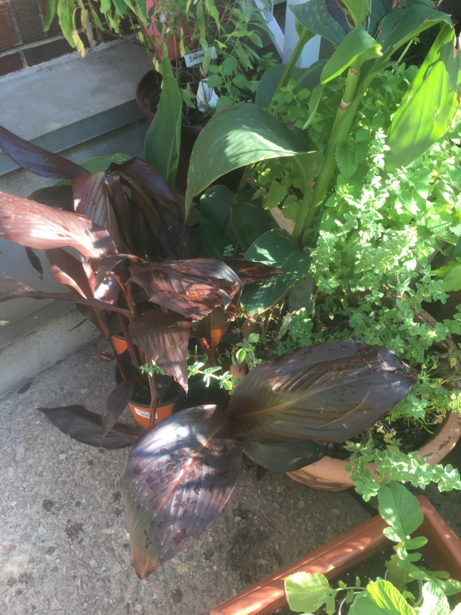 canna lilies pre planting