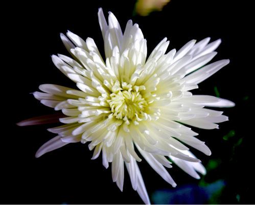 Jean Beaufort white chrysanthemum