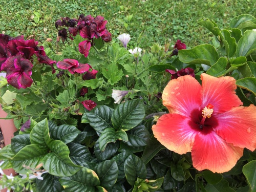 m washington geraniums and hibiscus