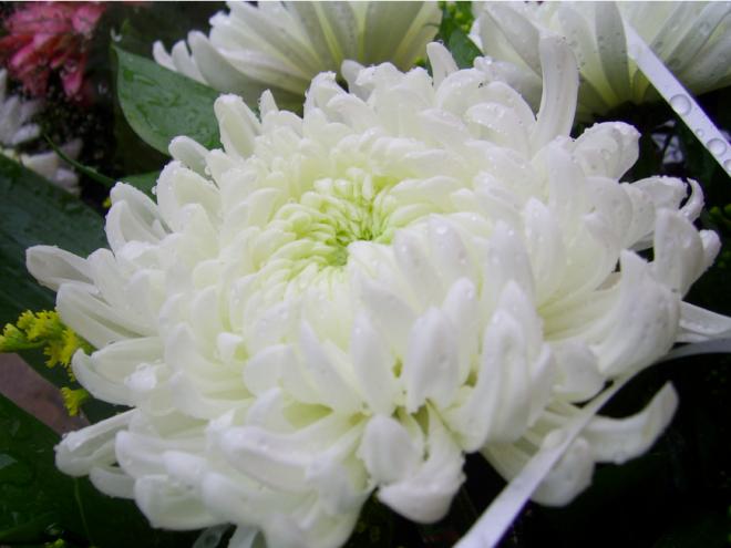 Marina Shemesh white chrysanthemum