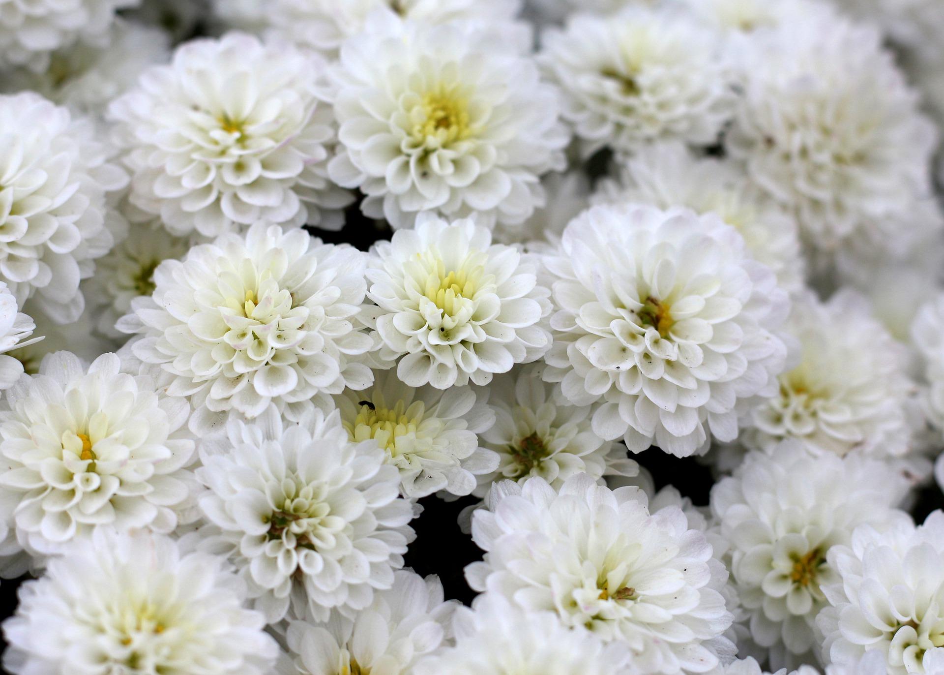 PurpleOwl white chrysanthemum