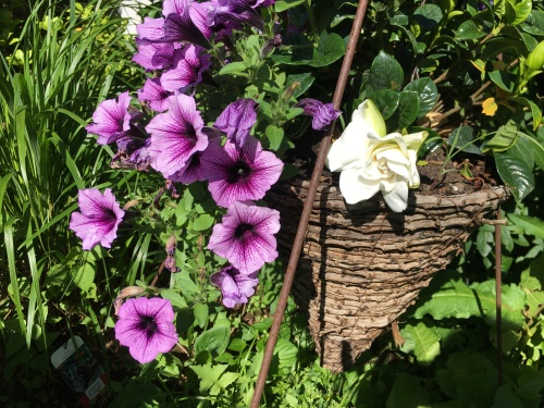 the first gardenia