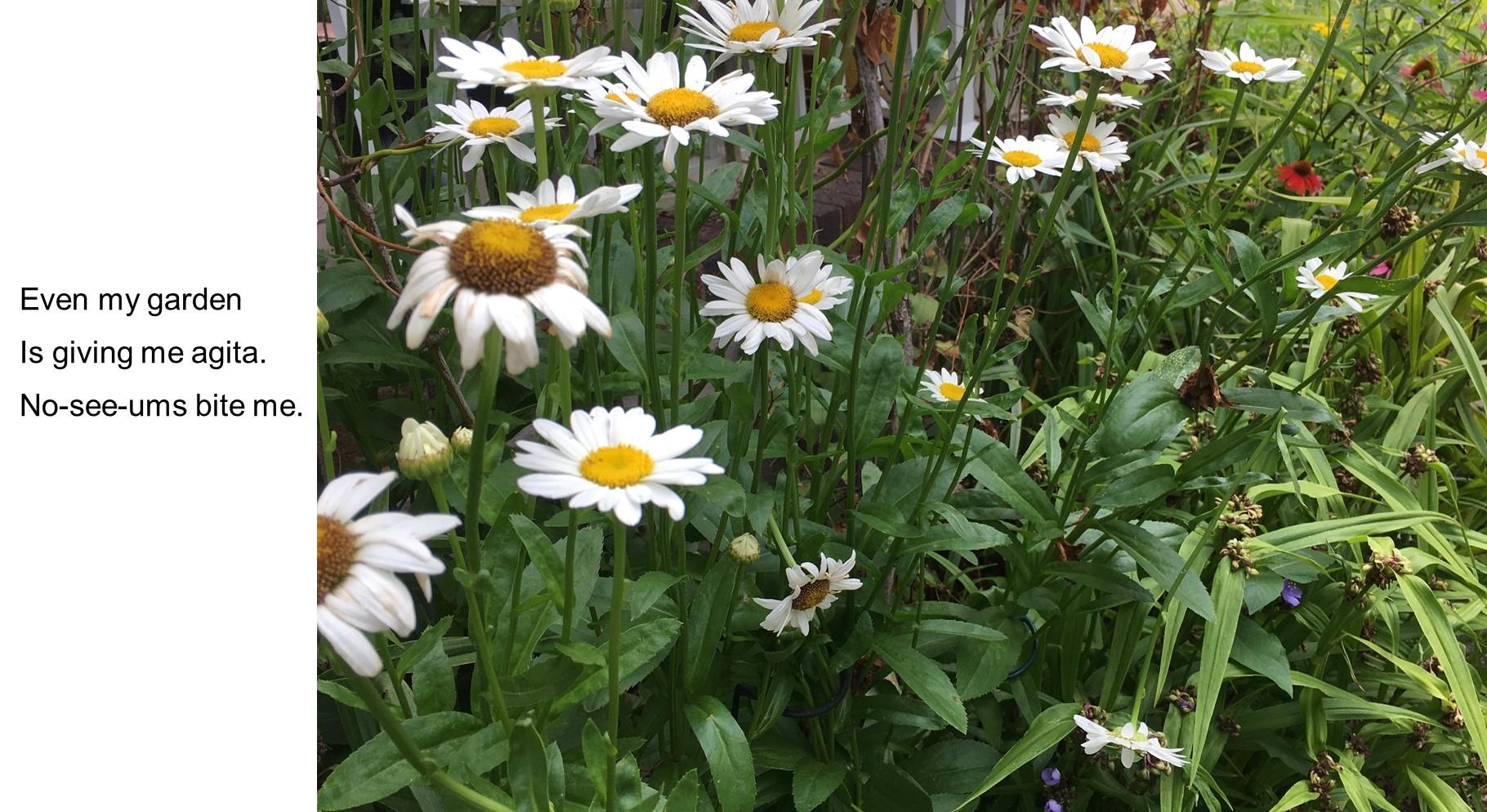 daisies haiku