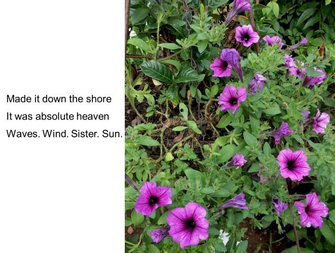 purple petunias haiku