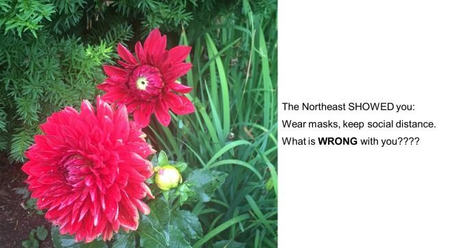 red zinnia haiku