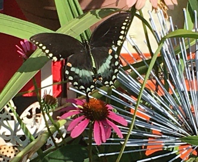 black swallowtail butterfly on echinacea